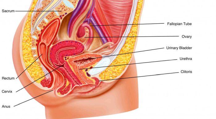 предстательная железа у женщин где расположена