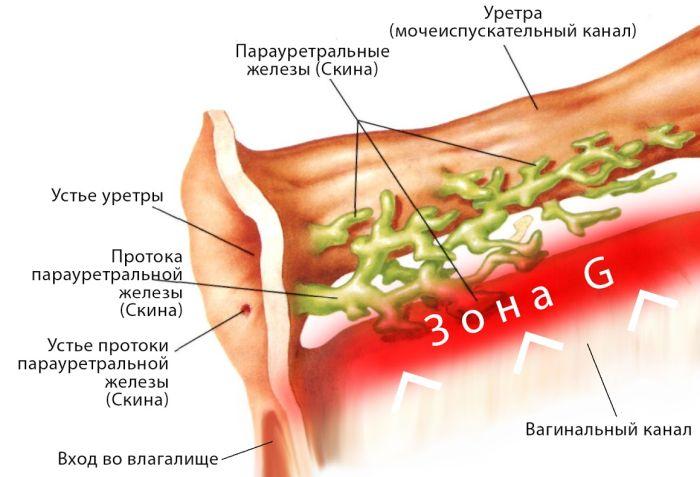 предстательная железа у женщин
