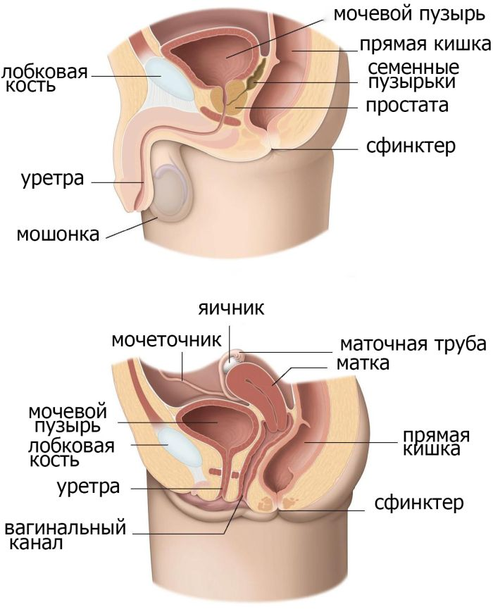 парауретральные железы у женщин